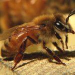Итальянская жёлтая пчела — это устойчивость к болезням и предприимчивость