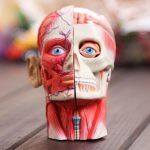 Школы могут быть заинтересованы в производстве наглядных пособий по анатомии с помощью 3d печати