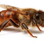 Разводить серых кавказских пчел совсем несложно