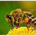 Украинская степная пчела хорошо справится с работой на удалённых посевах монокультур